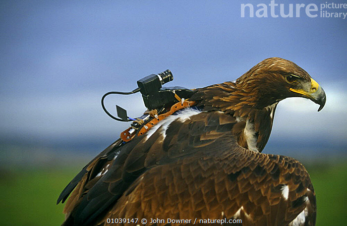 Golden eagle with special video camera to film while in flight  ,  BIRDS,BIRDS OF PREY,FILMING,NHU,Eagles,Raptor,Catalogue1  ,  John Downer
