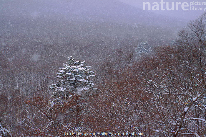 Snow falling over forest of South Primorskiy Region of Ussuriland, Far East Russia  ,  LANDSCAPES,EAST,HORIZONTAL,YS,USSURILAND,CIS,SIBERIA,SNOW,FOREST,WOODLANDS,REGION  ,  Yuri Shibnev