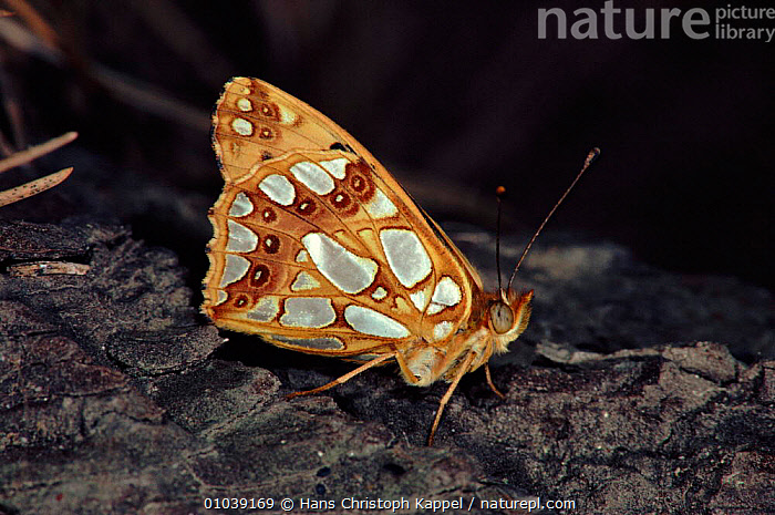 Queen of Spain fritillary (Issoria lathonia). Germany, Europe  ,  ARTHROPODS, BUTTERFLIES, EUROPE, GERMANY, HORIZONTAL, INSECTS, INVERTEBRATES, LEPIDOPTERA  ,  Hans Christoph Kappel