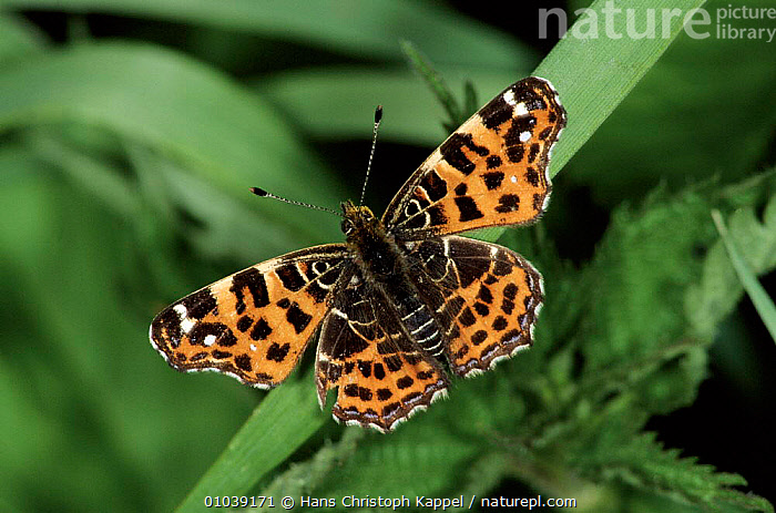 Map butterfly - first brood of year in May/ June, Germany. First generation resemble small fritillary - dusky orange wings marked with black  ,  GERMANY,ORANGE,HORIZONTAL,INTERESTING,HK,COLOUR PHASE,WINGS,INSECTS,COLOURFUL,EUROPE,FRITILLARY,PORTRAITS,INVERTEBRATES,LEPIDOPTERA  ,  Hans Christoph Kappel