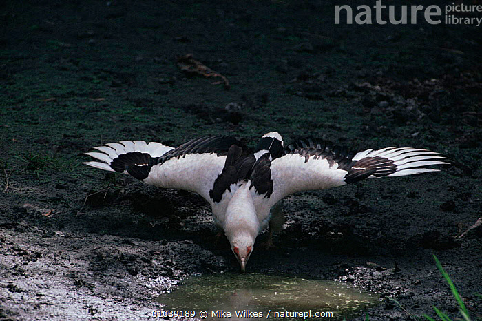 Palm nut vulture drinking (Gypohierax angolensis) Gambia, West Africa  ,  AFRICA,BIRDS,BIRDS OF PREY,DRINKING,FRESHWATER,VERTEBRATES,VULTURES,WEST AFRICA  ,  Mike Wilkes