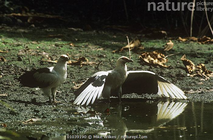 Palm nut vultures (Gypohierax angolensis) at water, one with wings spread out, Gambia, West Africa  ,  BEHAVIOUR,BIRDS,BIRDS OF PREY,FRESHWATER,TWO,VERTEBRATES,VULTURES,WATER,WEST AFRICA,Africa  ,  Mike Wilkes