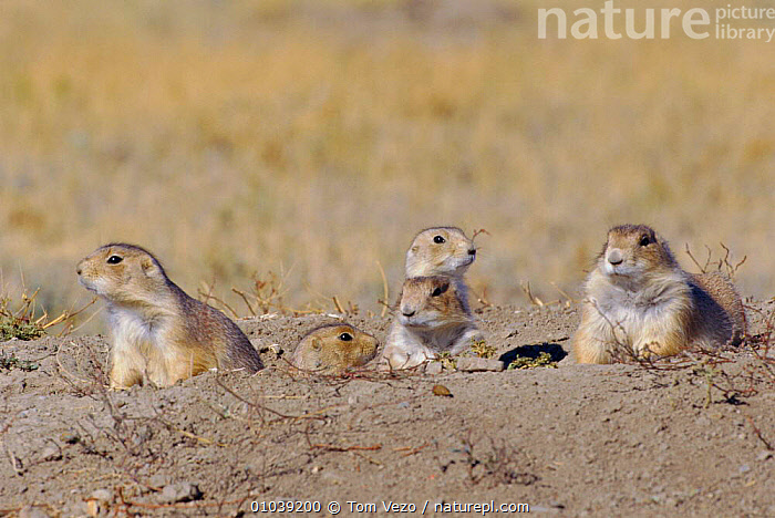 Black tailed prairie dogs at burrow entrance, Montana, US (Cynomys ludovicianus)  ,  GROUPS,MAMMALS,RODENTS,USA,North America,Grassland  ,  Tom Vezo
