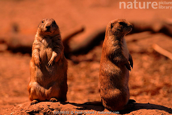 Black tailed prairie dogs (Cynomys ludovicianus) C Bristol Zoo. From USA.  ,  BRISTOL,CAPTIVE,CONCEPTS,DOGS,ENGLAND,EUROPE,GRASSLAND,HORIZONTAL,HUMOROUS,MAMMALS,NORTH AMERICA,PO,RODENTS,TWO,USA,ZOOS  ,  Pete Oxford