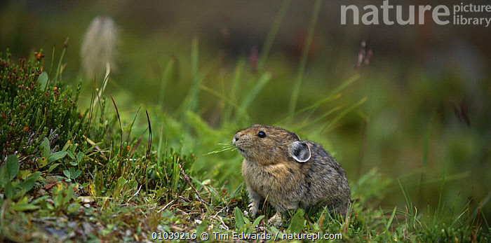 North American pika {Ochotona princeps} Jasper NP, Canada.  ,  CANADA,FEEDING,LAGOMORPHS,MAMMALS,NP,PIKAS,VERTEBRATES,North America,National Park,,Canadian Rocky Mountain Parks World Heritage Site, UNESCO World Heritage Site,Rocky Mountains,Rockies,NP,Reserve,  ,  Tim Edwards