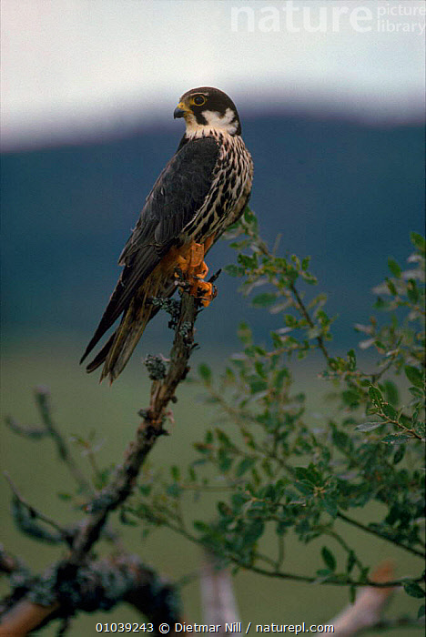 Hobby perched (Falco subbuteo). Germany, Europe  ,  VERTICAL,PERCHING,,TREE,BIRDS,GERMANY,PORTRAITS ,BIRDS OF PREY,EUROPE,FALCONS  ,  Dietmar Nill
