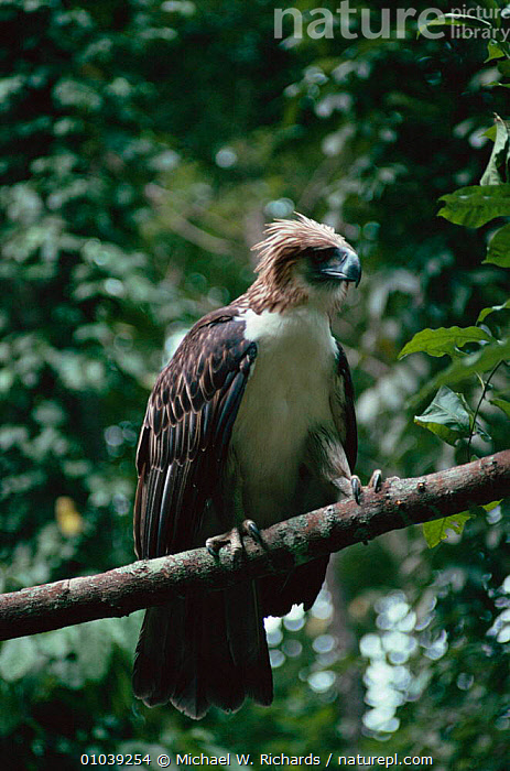 Monkey eating eagle perched (Pithecophaga jefferyi) rainforest, Philippines  ,  BIRD,,FOREST,ISLANDS,MRI,ONE,PERCHED,RAPTOR,SOUTH EAST ASIA,TROPICAL RAINFOREST ,BIRDS OF PREY,ASIA,EAGLES  ,  Michael W. Richards