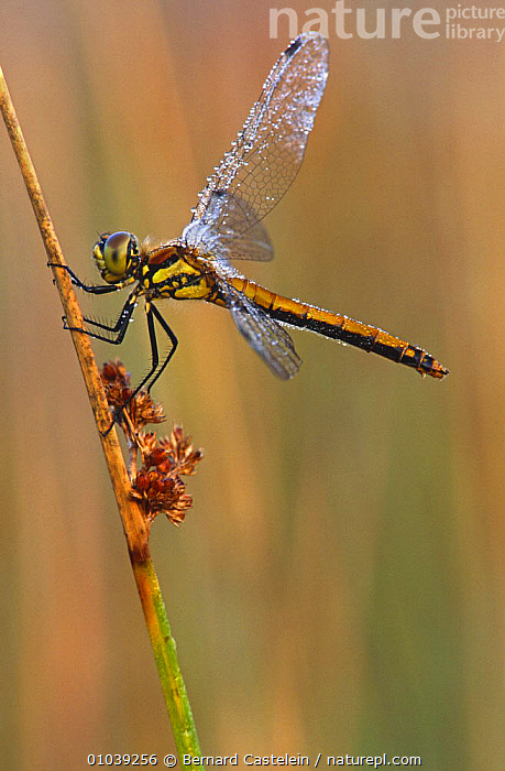 Black sympetrum dragonfly, female (sympetrum danae) Kalmthoutse Heide, Belgium  ,  ARTHROPODS,BELGIUM,DRAGONFLIES,EUROPE,FEMALES,INSECTS,INVERTEBRATES,ODONATA,VERTICAL  ,  Bernard Castelein
