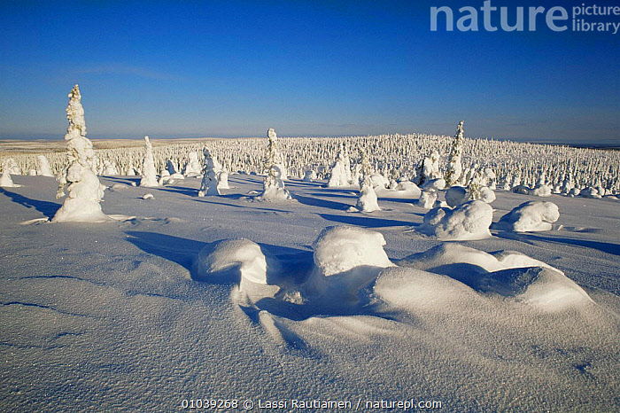 Snow laden boreal forest in winter, Finland  ,  Boreal,CONIFEROUS,EUROPE,FORESTS,LANDSCAPES,PEACEFUL,SCANDINAVIA,SNOW,TAIGA,TREES,WINTER,WOODLANDS,Concepts,Plants, Europe  ,  Lassi Rautiainen