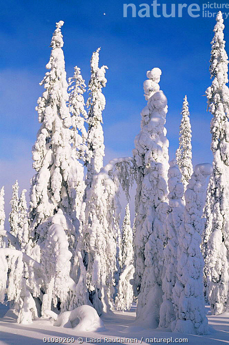 Snow laden boreal forest in winter, Finland  ,  Boreal,CONIFEROUS,EUROPE,FORESTS,LANDSCAPES,SCANDINAVIA,SNOW,TREES,VERTICAL,WINTER,WOODLANDS,Plants, Europe  ,  Lassi Rautiainen
