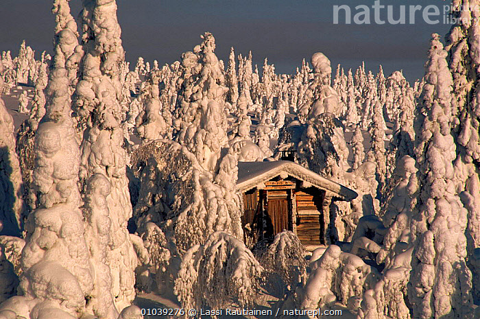 Hut surrounded by snow laden trees in Finland, Scandinavia, Europe  ,  HUT,BUILDINGS,SNOW,TRADITIONAL,TREES,ATMOSPHERIC,CONIFEROUS,HORIZONTAL,PLANTS,Scandinavia, Europe  ,  Lassi Rautiainen