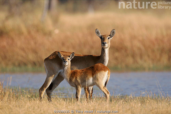 Lechwe with young. Moremi Wildlife Reserve, Botswana  ,  ANTELOPES,ARTIODACTYLA,BOTSWANA,FAMILIES,MAMMALS,MOREMI,PARENTAL,PORTRAITS,SOUTHERN AFRICA,TH,WR,YOUNG  ,  Tony Heald