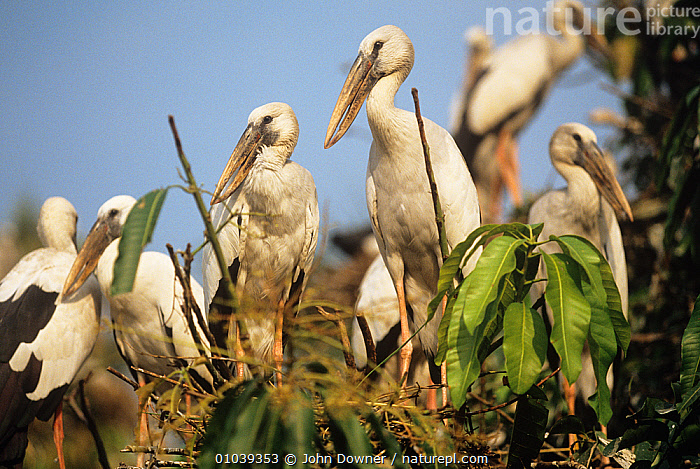 Asian openbill storks (Anastomus oscitans) at nesting colony, Thailand.  ,  ASIA,BIRDS,CICONIIDAE,GROUPS,LOW ANGLE SHOT,NESTS,SOUTH EAST ASIA,STORKS,THAILAND,VERTEBRATES,WHITE  ,  John Downer