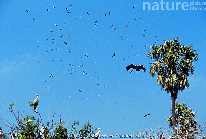 Flock of Asian openbill storks (Anastomus oscitans) in flight, soaring in thermals over nesting colony, Thailand.  ,  ASIS,BIRDS,CICONIIDAE,FLOCKS,FLYING,LOW ANGLE SHOT,NESTS,SKY,SOUTH EAST ASIA,STORKS,THAILAND,THERMALS,VERTEBRATES  ,  John Downer