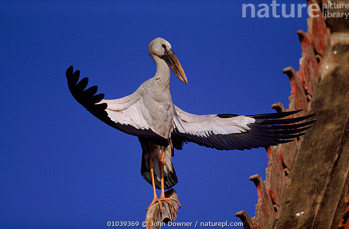 Asian openbill stork sunbathes on roof, Thailand  ,  SOUTH EAST ASIA,BUILDINGS,THERMOREGULATION,WINGS,BIRDS,JD,ROOF,HORIZONTAL,THAILAND,ASIA  ,  John Downer