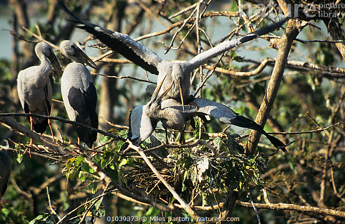 Asian openbill storks (Anastomus oscitans) mating at nesting colony, Thailand  ,  BEHAVIOUR,BIRDS,Ciconiidae,COPULATION,MALE FEMALE PAIR,mating,NESTS,SOUTH EAST ASIA,STORKS,TREES,VERTEBRATES,wading,Reproduction,PLANTS  ,  Miles Barton