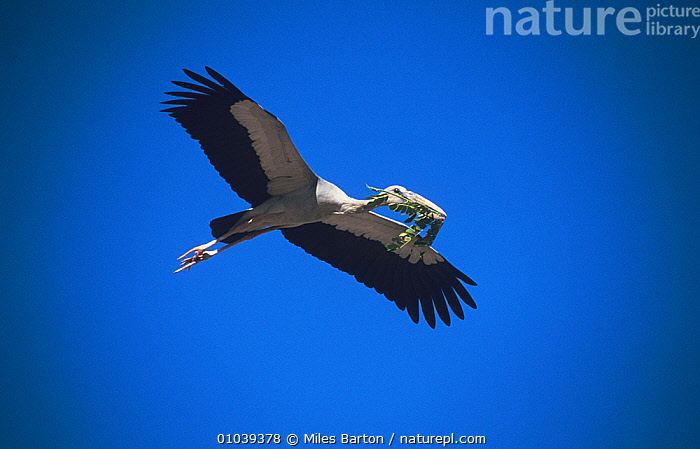 Asian Openbill Stork (Anastomus oscitans) in flight carrying nest material, Thailand  ,  BEHAVIOUR,BIRDS,blue background,Ciconiidae,CUTOUT,FLYING,low angle shot,nesting behaviour,SOUTH EAST ASIA,STORKS,THAILAND,VERTEBRATES  ,  Miles Barton