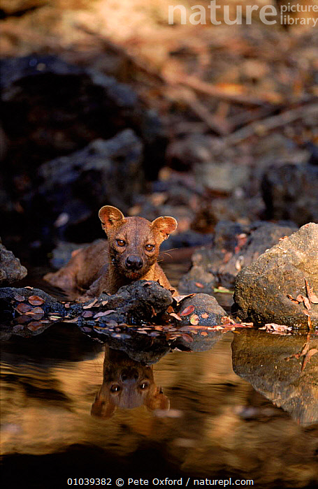 Fossa male at water, Madagascar, Kirindy Forest  ,  MADAGASCAR,WATER,WOODLANDS,MAMMALS,CARNIVORES,VULNERABLE,MALES,VERTICAL,KIRINDY,PO  ,  Pete Oxford