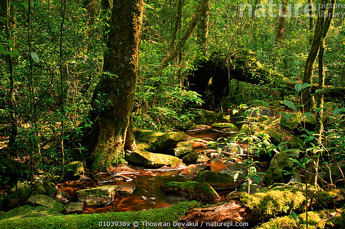 Stream in hill forest. Phu Luang WS. Thailand.  ,  RAINFOREST,HORIZONTAL,LUANG,LANDSCAPES,TROPICAL RAINFOREST,FOREST,PHU,STREAM,WS,HILL,RIVERS,HIGHLANDS,TD,Asia,SOUTH-EAST-ASIA  ,  Thoswan Devakul