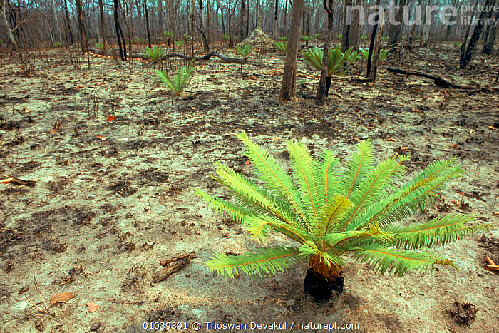 Cycad {Cycas sp} grows after forest fire, Huai Kha Khaeng WS, Thailand.  ,  TD,SOUTH EAST ASIA,FOREST,KHA,PLANTS,TREE,FERNS,HORIZONTAL,THAILAND,HUAI,KHAENG,GYMNOSPERMAE,LANDSCAPES,WS,ASIA  ,  Thoswan Devakul