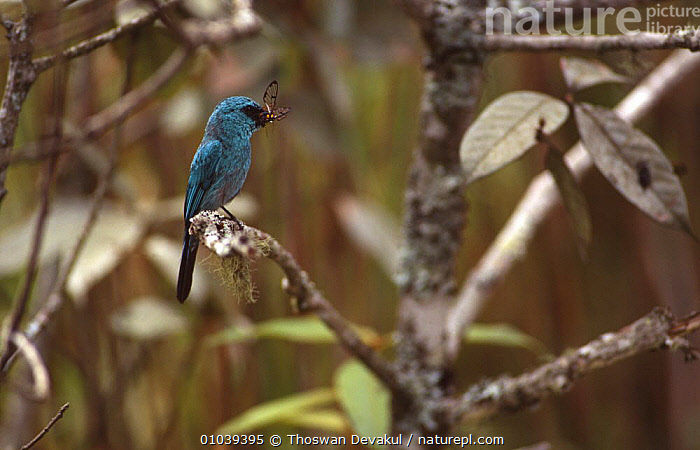 Indian verditer flycatcher (Eumyias thalassinus) with butterfly prey, Phu Luang WS, Thailand  ,  BIRDS, BLUE, FEEDING, FLYCATCHERS, INSECTS, PREDATION, SOUTH-EAST-ASIA, TROPICAL-RAINFOREST, VERTEBRATES,Invertebrates,Behaviour,Asia  ,  Thoswan Devakul