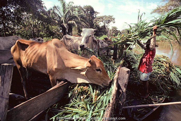 Local man collecting aquatic grass from river for cattle feed, Varzea, Amazon flood plain, Brazil  ,  AMAZONIA,AQUATIC,CATTLE,FARMING,FEEDING,FRESHWATER,GRASS,LIVESTOCK,MAMMALS,PEOPLE,REEDS,RIVERS,SOUTH AMERICA,WETLANDS,Plants,SOUTH-AMERICA  ,  Nick Gordon