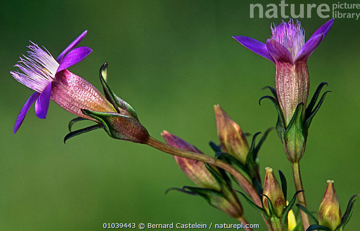 Flower heads of Chiltern gentian (Gentianella germanica) NW France - typically found on lime  ,  DICOTYLEDONS,FLOWERS,FRANCE,GENTIANACEAE,HEADS,PLANTS,PURPLE,Europe  ,  Bernard Castelein
