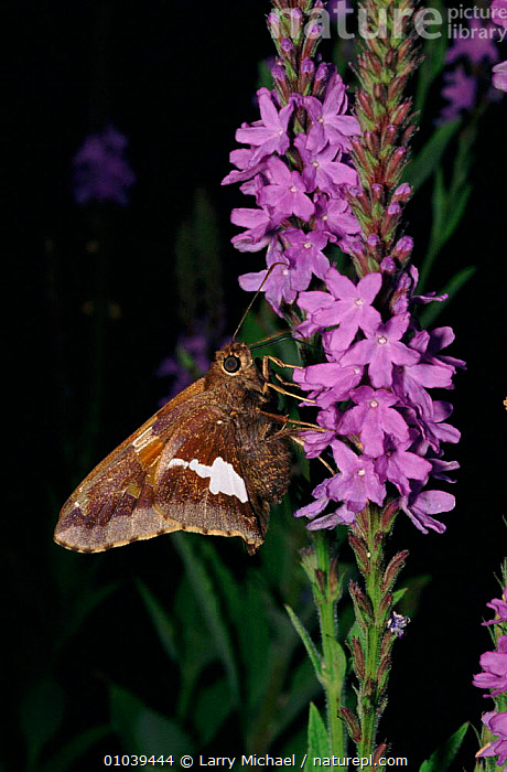 Silver spotted skipper on Hoary vervain (Verbena stricta) USA  ,  USA,VERTICAL,ARTHROPODS,VERBENA,VERVAIN,LM,COMMA,FLOWERS,INSECTS,HOARY,NORTH AMERICA,INVERTEBRATES,LEPIDOPTERA,BUTTERFLIES,CREWS  ,  Larry Michael