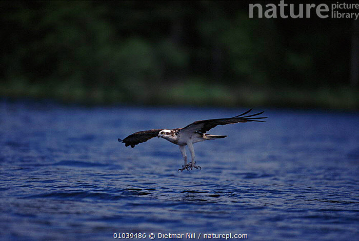 Osprey (Pandion haliaetus) catching fish. Sweden, Scandinavia, Europe  ,  CATCHING,HORIZONTAL,WATER,ACTION,FLYING,,PREDATION,FISH,FEEDING,SWEDEN,BIRDS ,BIRDS OF PREY,EUROPE,SCANDINAVIA,BEHAVIOUR  ,  Dietmar Nill