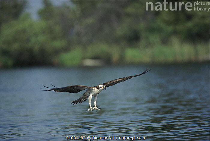 Osprey about to catch fish, Sweden  ,  FISH,WATER,BIRDS,,PREDATION,DN,SCANDINAVIA,ACTION,FLYING,HORIZONTAL,EUROPE,FISHING,SWEDEN ,BIRDS OF PREY,BEHAVIOUR  ,  Dietmar Nill