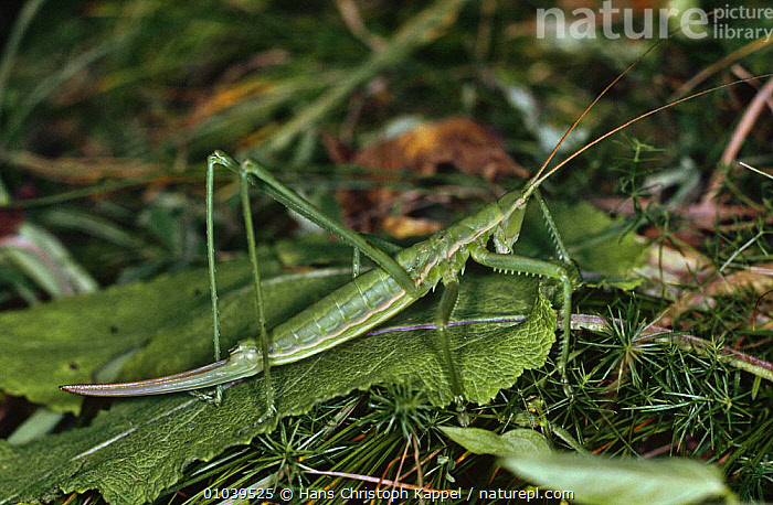 Female Grasshopper (Saga pedo) Austria  ,  AUSTRIA,EUROPE,FEMALES,GRASSHOPPERS,GREEN,INSECTS,INVERTEBRATES,LONG HORNED GRASSHOPPERS,ORTHOPTERA  ,  Hans Christoph Kappel