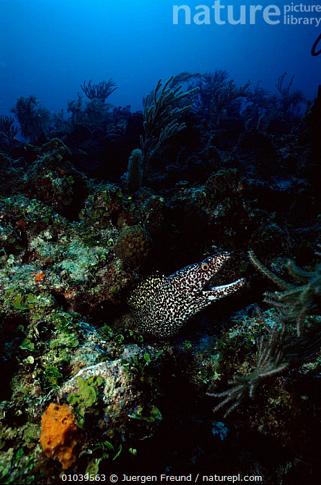 Spotted moray eel, Caribbean  ,  JFR,VERTICAL,ATLANTIC,OCEAN,FISH,CARIBBEAN,MARINE,CORAL REEFS,West Indies  ,  Jurgen Freund