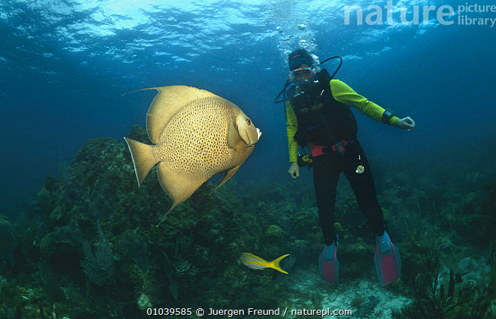 Diver with Grey angelfish (Pomacanthus arcuatus) Caribbean  ,  ATLANTIC-OCEAN, CARIBBEAN, DIVING, encounter, FISH, LEISURE, MARINE, OSTEICHTHYES, PEOPLE, SPORTS, TROPICAL, tropics, UNDERWATER, VERTEBRATES,West Indies  ,  Jurgen Freund