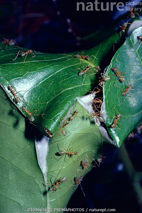 Green tree {Oecophylla smaragdina} drawing leaf edges together to 'sew' them into a nest, Australia  ,  ANTS,ARTHROPODS,AUSTRALIA,BUILDING,COOPERATION,HOMES,HORIZONTAL,HYMENOPTERA,INSECTS,INVERTEBRATES,KPM,LEAF,MAKING,NESTS,SEW,TROPICAL RAINFOREST ,TEAMWORK  ,  PREMAPHOTOS