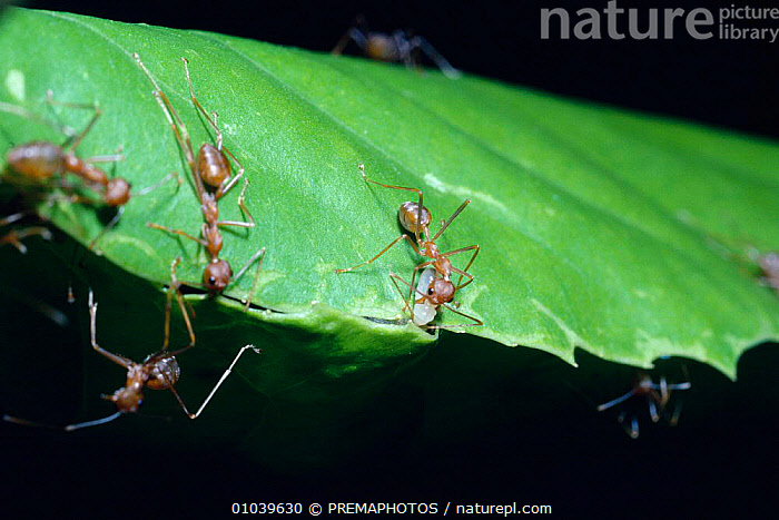 Green tree ant (Oecophylla smaragdina) using larva as shuttle with silk thread to bind together leaf edges for building nest, India  ,  ARTHROPODS,ASIA,BIND,BUILDING,COOPERATION,EDGES,HOMES,HORIZONTAL,HYMENOPTERA,INDIA,INDIAN SUBCONTINENT,INSECTS,INTERESTING,INVERTEBRATES,KPM,LARVAE,LEAF,MAKING,NEST,NESTS,THREAD,TROPICAL RAINFOREST ,TEAMWORK  ,  PREMAPHOTOS