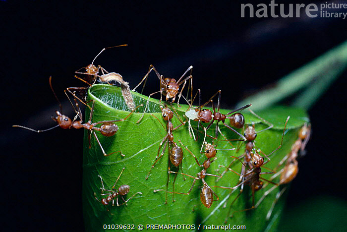 Green tree ant (Oecophylla smargdina) using larva as shuttle with silk thread to bind together leaf edges for nest, India  ,  ARTHROPODS,ASIA,BUILDING,COOPERATION,DIG,HOMES,HORIZONTAL,HYMENOPTERA,INDIAN SUBCONTINENT,INSECTS,INTELLIGENCE,INTERESTING,INVERTEBRATES,KPM,LARVA,LARVAE,LEAF,MAKING,NESTS,SILK,THREAD,TROPICAL RAINFOREST ,TEAMWORK  ,  PREMAPHOTOS