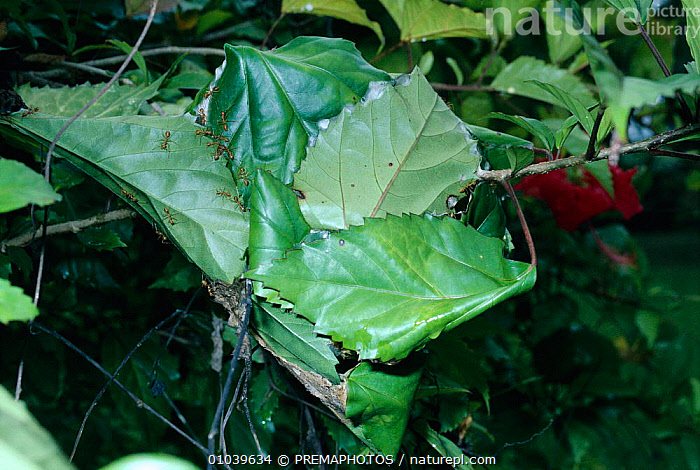 Green tree ant nest on Hibiscus bush (Oecophylla smaragdina) Sulawesi  ,  ARTHROPODS,HOMES,HORIZONTAL,HYMENOPTERA,INDONESIA,INSECTS,INVERTEBRATES,KPM,LEAVES,NEST,NESTS,ASIA  ,  PREMAPHOTOS