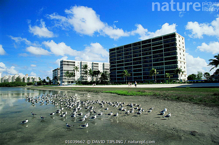 Birds roosting on lagoon near coastal development, Fort Myers, Florida, USA  ,  BIRDS,BUILDINGS,CITIES,DEVELOPMENT,GROUPS,HOLIDAYS,manmade,NORTH AMERICA,SEABIRDS,urbanisation,USA,Concepts , LANDSCAPES  ,  DAVID TIPLING