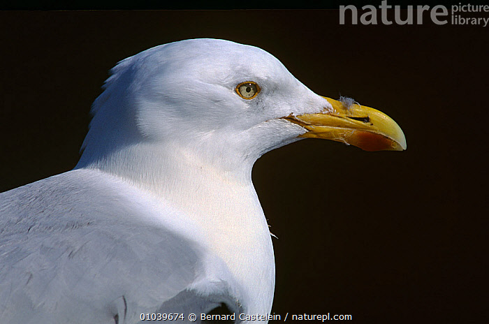 Herring gull (Larus argentatus) portrait, Farne Islands, Northumberland, UK  ,  BIRDS,ENGLAND,EUROPE,GULLS,PORTRAITS,PROFILE,SEABIRDS,UK,VERTEBRATES,United Kingdom  ,  Bernard Castelein