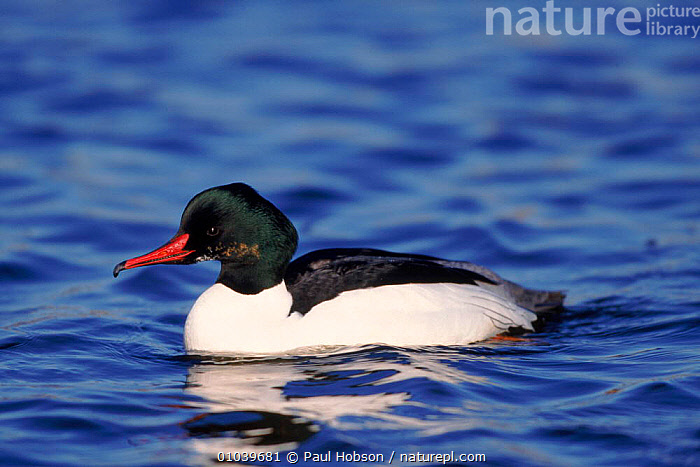 Gossander (Mergus merganser) male. Norfolk  ,  SAWBILLS,PH,WATERFOWL,ENGLAND,NORFOLK,PORTRAIT,MALES,BIRDS,HORIZONTAL,EUROPE  ,  Paul Hobson