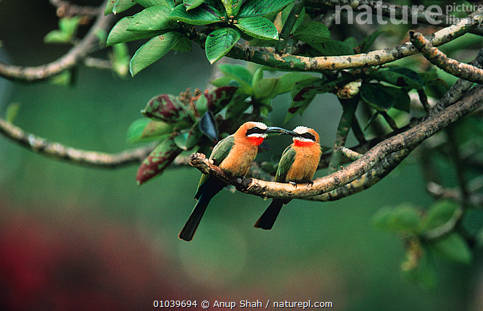 White fronted bee eater (Merops bullockoides) courting pair perched on branch, Masai Mara NR, Kenya  ,  AFRICA,BEE EATERS,BIRDS,COURTSHIP,CUTE,EAST AFRICA,MALE FEMALE PAIR,two,VERTEBRATES  ,  Anup Shah