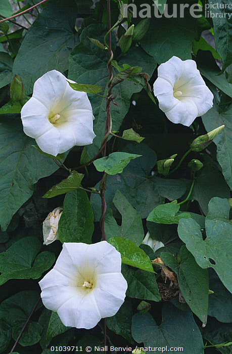 Great Bindweed (Calystegia silvatica) flowers, Fife, Scotland  ,  CLIMBERS,CONVOLVULACAEA,DICOTYLEDONS,EUROPE,FLOWERS,LEAVES,PLANTS,SCOTLAND,THREE,VERTICAL  ,  Niall Benvie