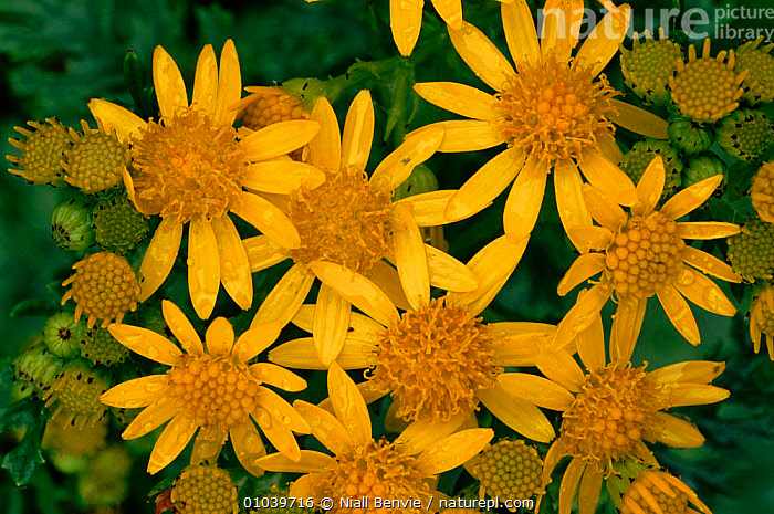 Ragwort (Jacobaea vulgaris). Scotland, UK, Europe  ,  ASTERACEAE, COMPOSITAE, DICOTYLEDONS, EUROPE, FLOWERS, HORIZONTAL, PLANTS, SCOTLAND, VERTICAL, YELLOW,UK,United Kingdom  ,  Niall Benvie