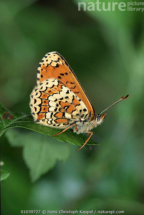 Glanville fritillary butterfly. Germany  ,  ORANGE,GERMANY,HK,VERTICAL,WINGS,INSECTS,EUROPE,PORTRAITS,INVERTEBRATES,LEPIDOPTERA,BUTTERFLIES  ,  Hans Christoph Kappel