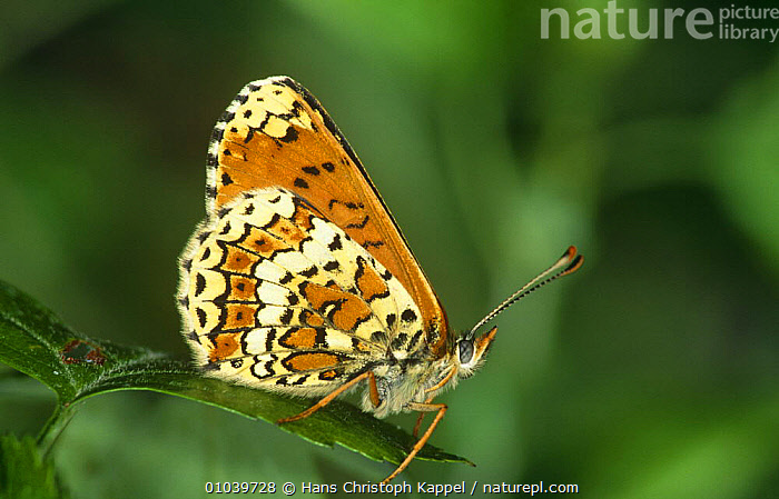 Glanville fritillary butterfly {Melitaea cinxia} on leaf, Germany  ,  ARTHROPODS,BUTTERFLIES,EUROPE,GERMANY,INSECTS,INVERTEBRATES,LEPIDOPTERA,ORANGE,PORTRAITS,WINGS  ,  Hans Christoph Kappel