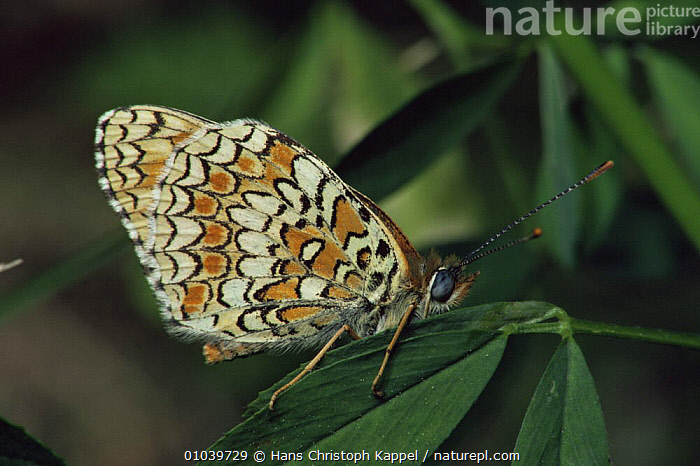 Glanville fritillary butterfly (Melitaea cinxia) on leaves, Germany  ,  ARTHROPODS,BUTTERFLIES,EUROPE,GERMANY,INSECTS,INVERTEBRATES,LEPIDOPTERA,PATTERNS,PORTRAITS,WINGS  ,  Hans Christoph Kappel