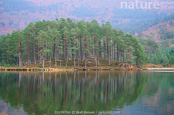 Loch an Eilean, Rothiemurchus, Scotland.  ,  CONIFEROUS,EUROPE,MIXED WOOD,PLANTS,REFLECTIONS,SCOTLAND,TREES,UK,United Kingdom,British  ,  Niall Benvie
