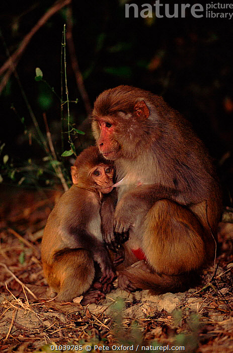 Rhesus macaque suckling young (Macaca mulatta). Keoladeo NP, Bharatpur, India  ,  BHARATPUR,NP,SUCKLING,MAMMALS,MONKEY,KEOLADEO,INDIAN SUBCONTINENT,VERTICAL,BABIES,INDIA,PARENTAL,PRIMATES,YOUNG,ASIA,NATIONAL PARK,MONKEYS,,UNESCO World Heritage Site,  ,  Pete Oxford