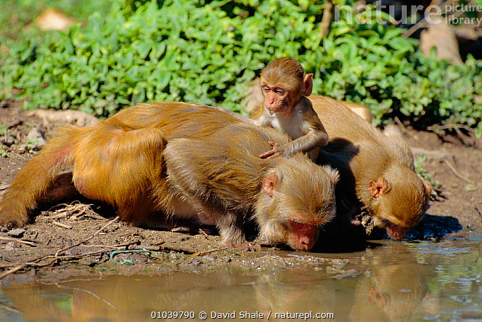 Rhesus macaque family drinking (Macaca mulatta) Puerto Rico.  ,  BABIES,CARIBBEAN,CENTRAL AMERICA,DRINKING,DS,FAMILIES,MAMMALS,MONKEYS,PRIMATES,WATER,West Indies  ,  David Shale
