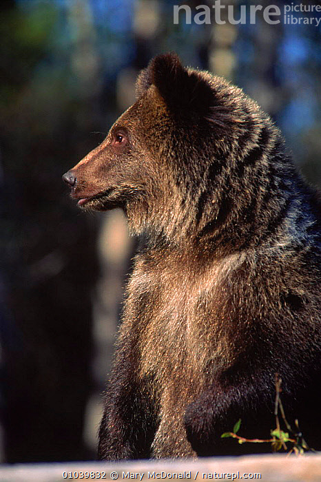 Grizzly bear (Ursus arctos horribilis) USA C  ,  VERTICAL,BEARS,MMC,USA,CAPTIVE,CONIFEROUS,WOODLANDS,CARNIVORES,MAMMALS,CANADA,PORTRAITS,NORTH AMERICA ,BROWN BEAR  ,  Mary McDonald